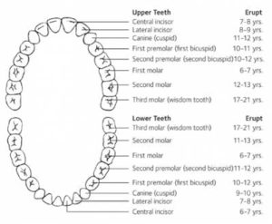 Kid Teeth Chart
