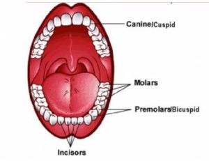 Incisors, Canines, Premolars, Molars and Wisdom Teeth Functions in Human